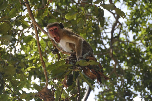monkey sitting on the tree and screaming
